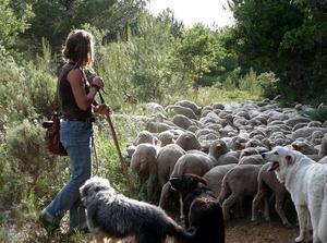 Bergère conduisant un troupeau de brebis.  MEURET Michel,  Médiathèque INRA